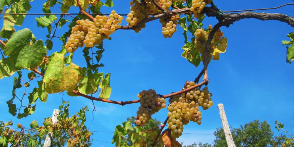 Il vino in Fvg: ce n'è meno ma è più buono