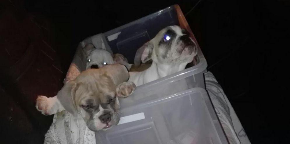 Guardia di finanza, sequestrati sette cuccioli di razza