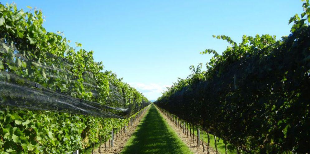 Vini da viti resistenti alle malattie: ottimi risultati all'International Piwi Wine Award