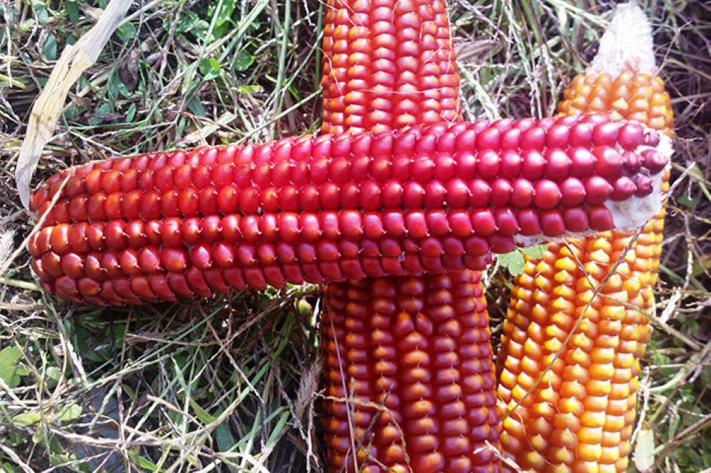 Agricoltura: nasce l'associazione produttori antichi mais friulani