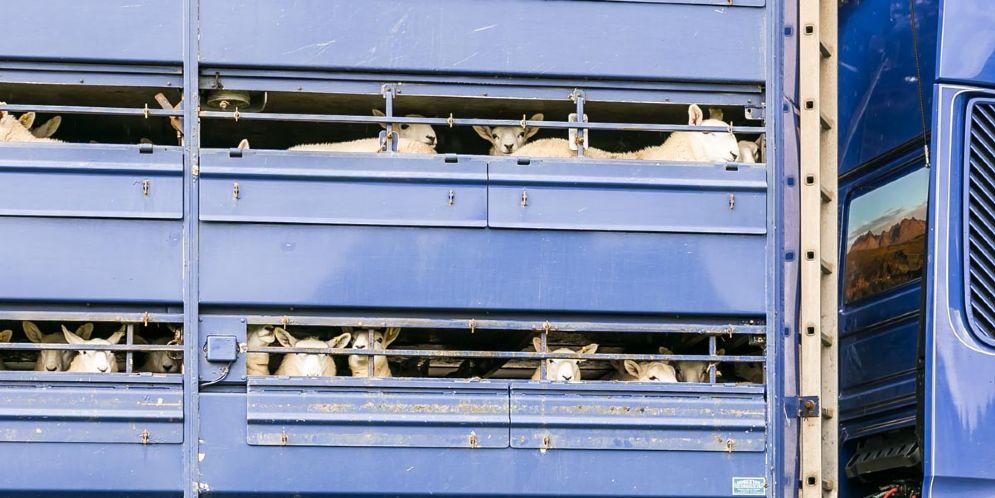 Condizioni igieniche precarie: fermato un carico di 750 agnellini