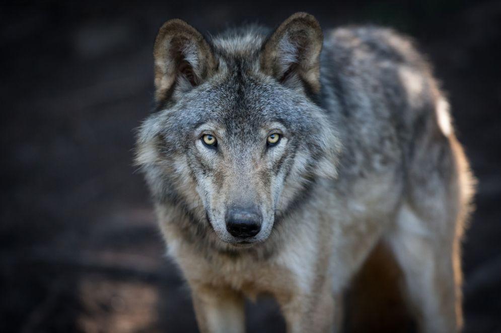 Paura a Mondovì: si temono lupi in zona