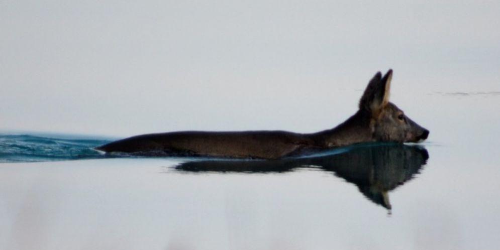 La natura che incanta: caprioli nuotano da Bibione e Lignano