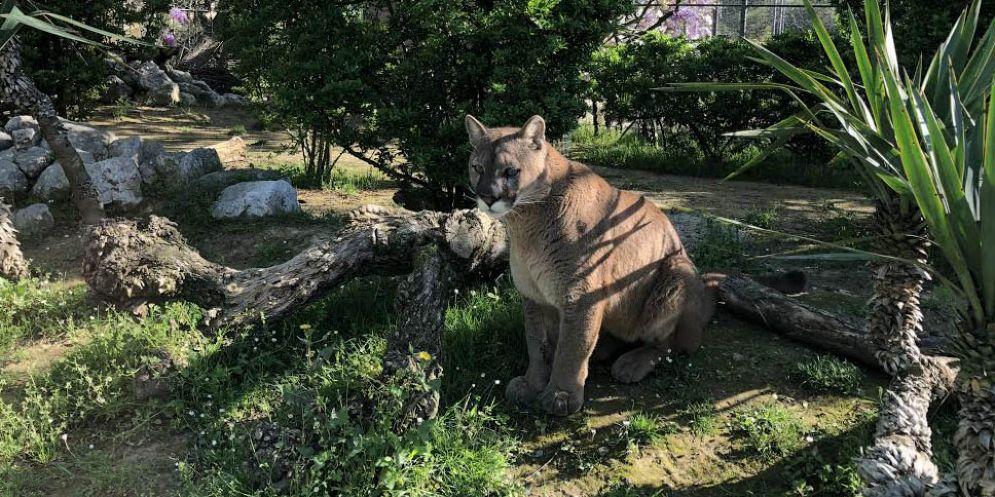 Al Parco Zoo Punta Verde è arrivato Nino, un meraviglioso puma