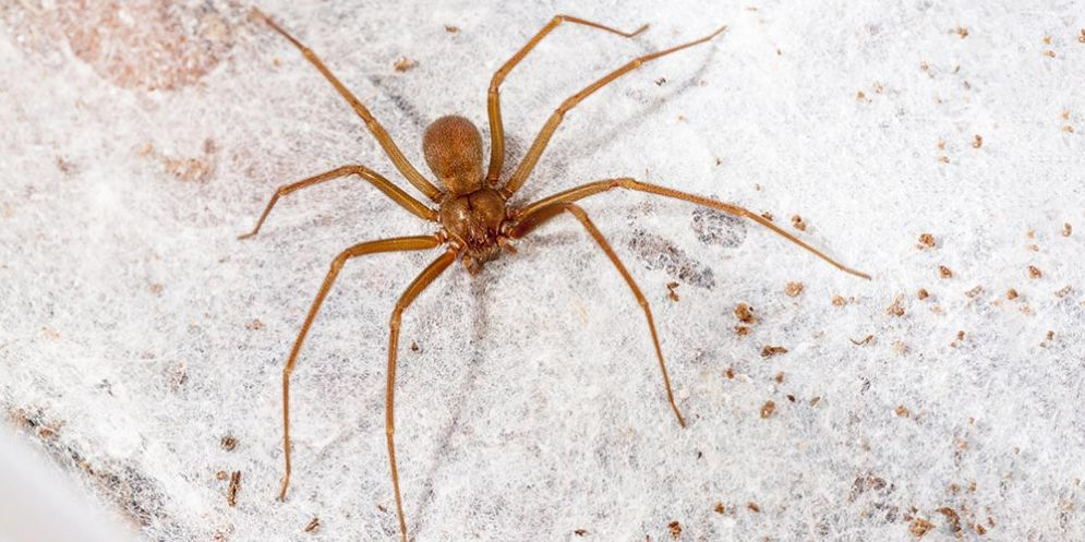 Il siero contro il morso del ragno violino
