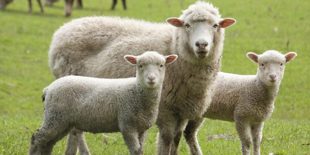 Derubato un pastore a Vigliano