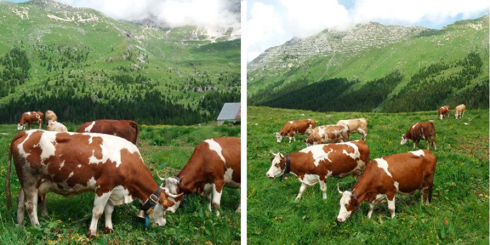 Entra nel vivo l'estate di malga Montasio: alpeggiate 250 vacche