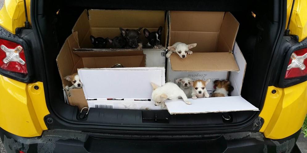 Gorizia e Villesse: sequestrati 34 cuccioli importati illegalmente dall'Ungheria