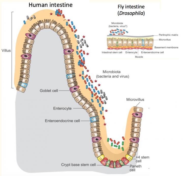 L'intestino del moscerino della frutta condivide gran parte della stessa fisiologia dell'intestino umano, solo più semplice e su una scala più piccola