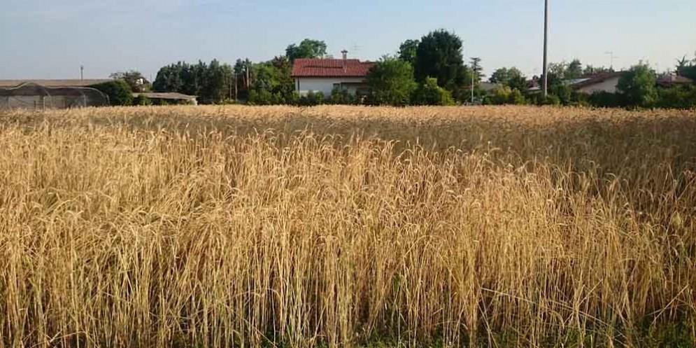 Grani Antichi, di nome e di fatto: dal passato al futuro dei cereali