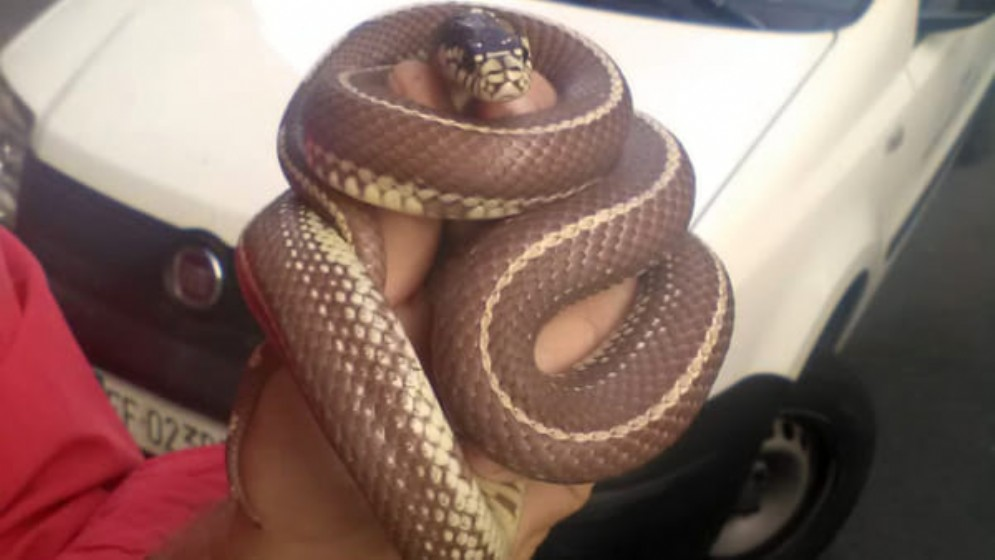 Il serpente saettone recuperato in via Foscolo a Torino