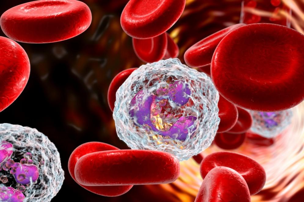 Cellule neutrofili insieme a globuli rossi. Scoperto un tunnel tra cervello e cranio