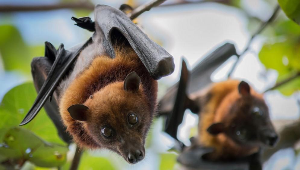 Pipistrelli della frutta