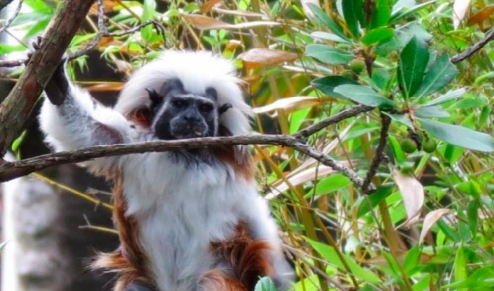 Al Parco di Zoo di Lignano ecco il Tamarino di Edipo