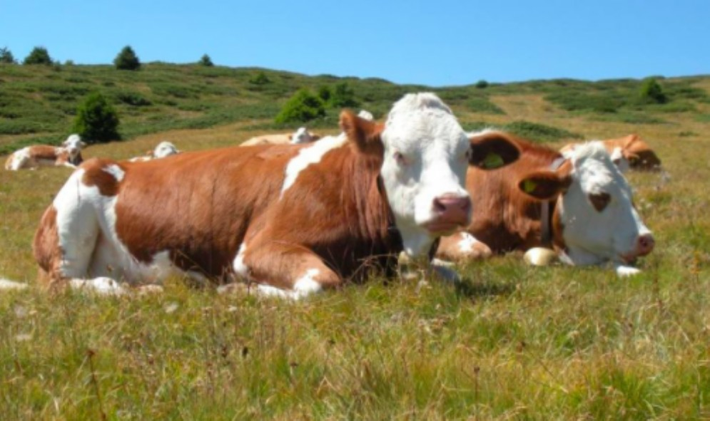 Agroalimentare: nuove opportunità per la Pezzata Rossa Fvg