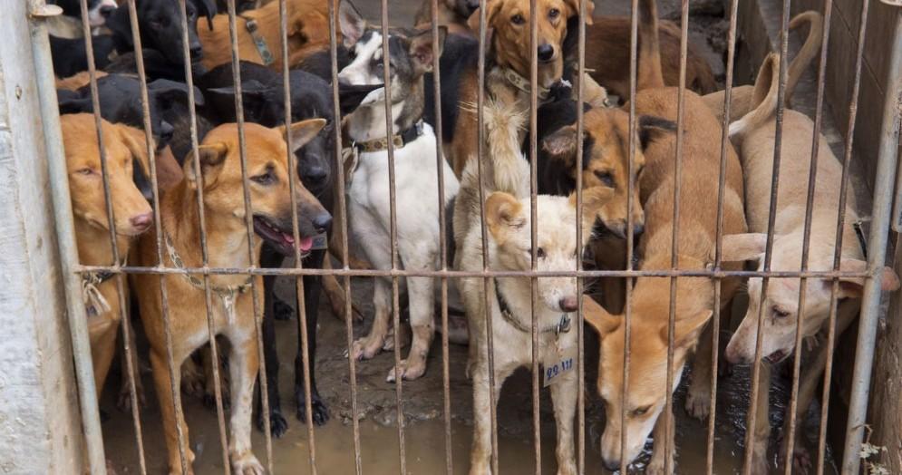 Cani in attesa di essere macellati