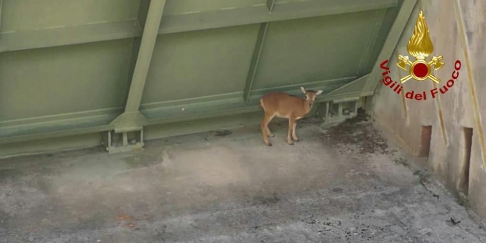 Tramonti di Sotto, salvato un cucciolo di muflone