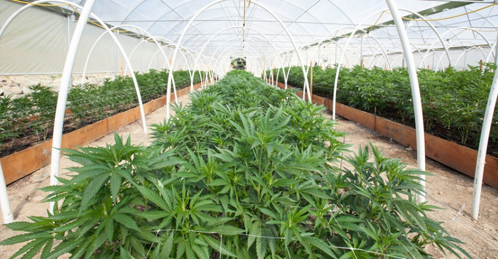 Campo di cannabis