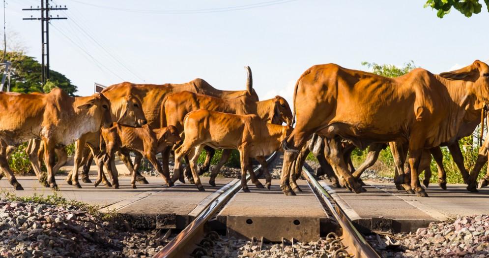 Bestiame attraversa la ferrovia - Immagine di repertorio