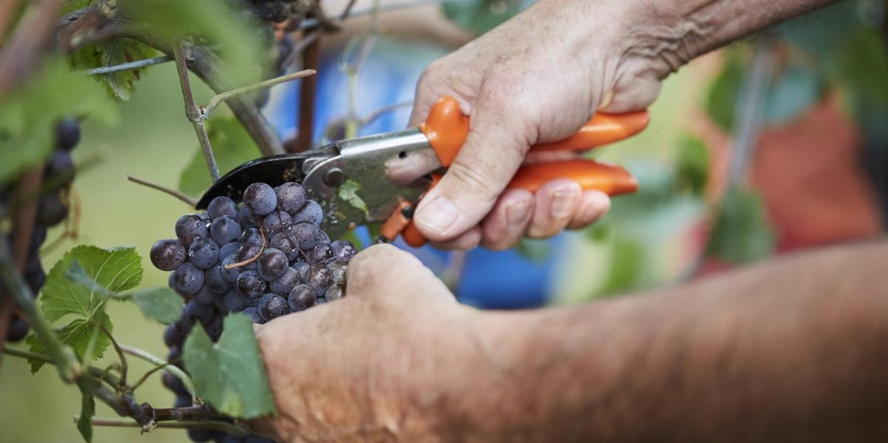 Vendemmia 2018: l'uva è sana e ben maturata