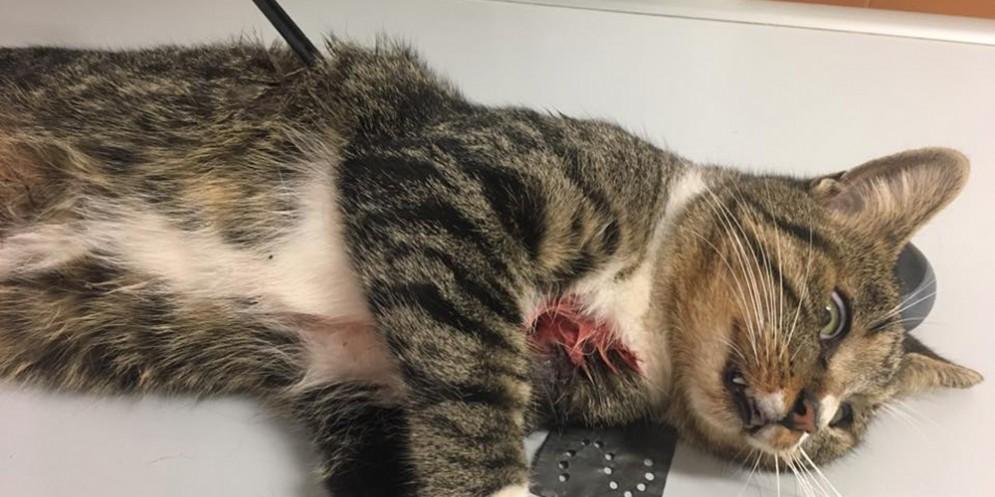 È salvo il gatto trafitto da una freccia di balestra