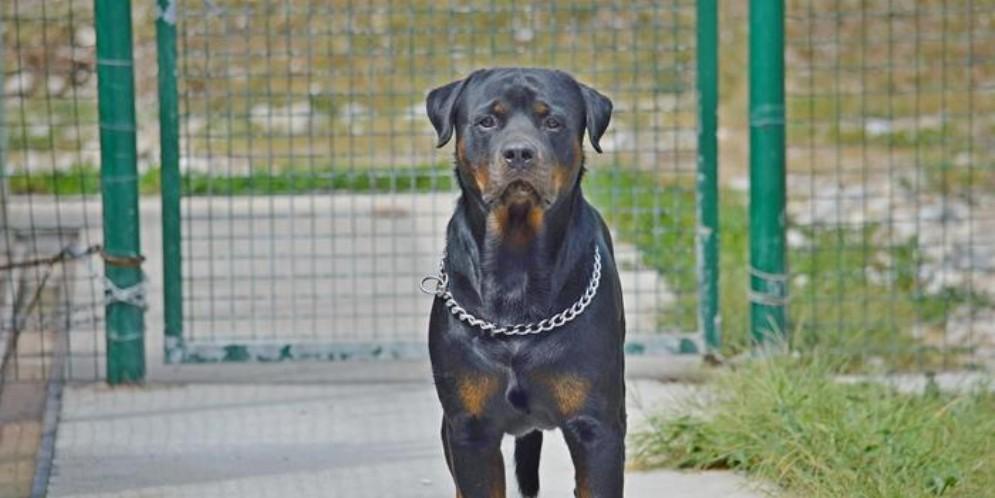 Rottweiler - Immagine di repertorio