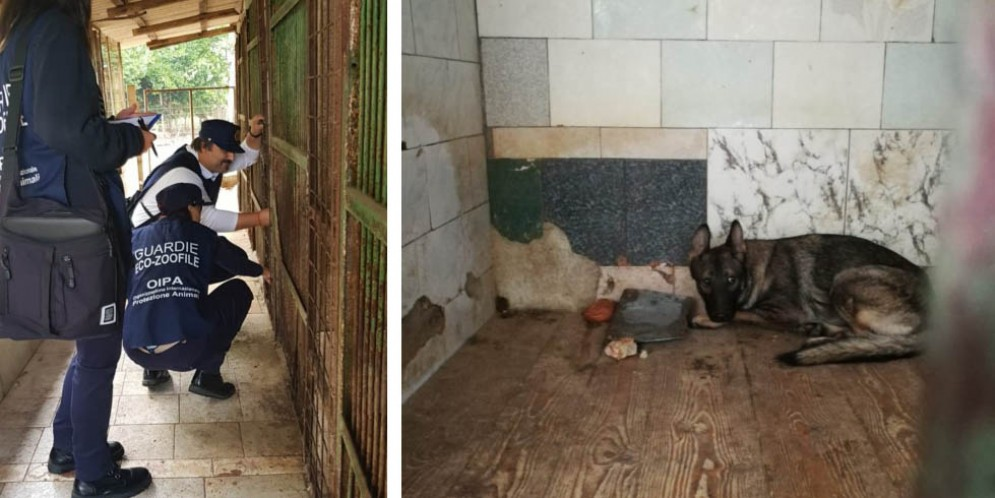 Allevamento lager in Friuli: 8 pastori tedeschi trovati in condizioni pietose
