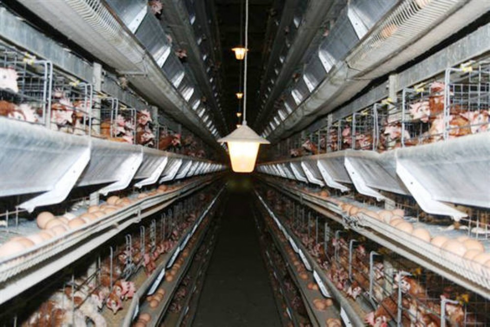 Incendio in un allevamento a Saluggia, morte carbonizzate 10.000 galline