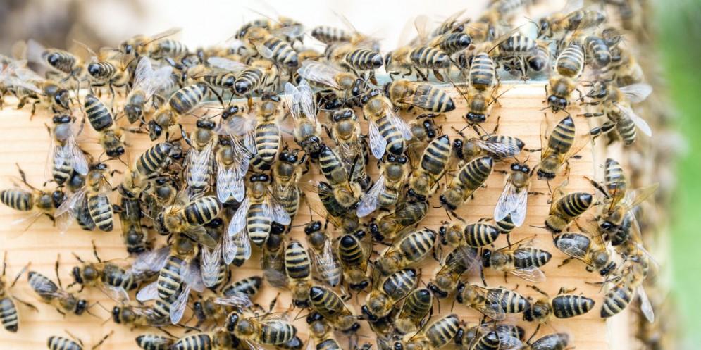 Moria di api in Fvg: l'Ersa lancia un appello agli agricoltori