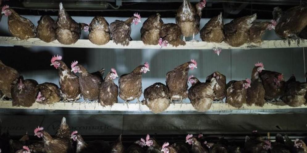 Le uova di gallina sono le «star del carrello»