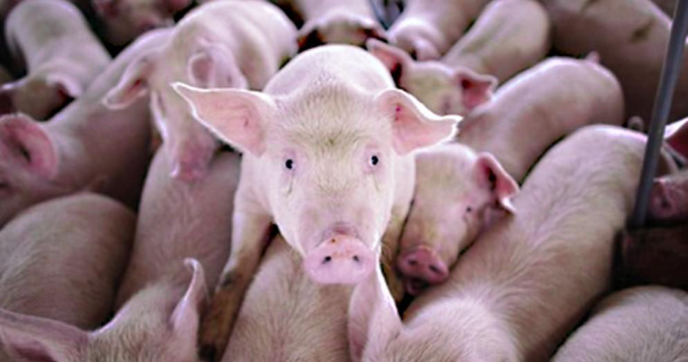 Carne suina: crollo dei prezzi da ottobre a oggi