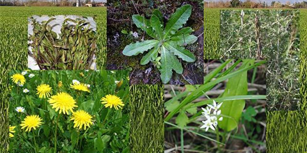 Scoprire le piante mangerecce: a spasso per sentieri e prati del Friuli