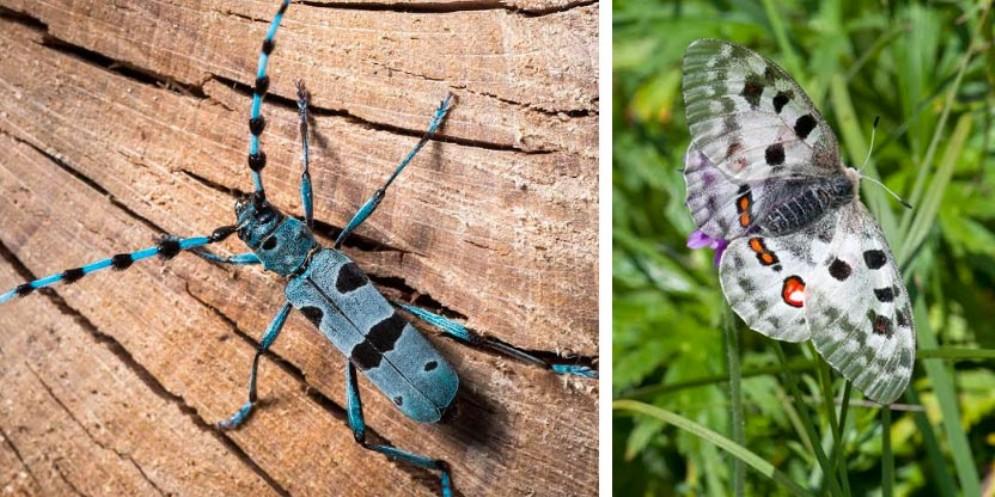 Alla scoperta di farfalle e Rosalia Alpina tra Bordano e la Val Resia