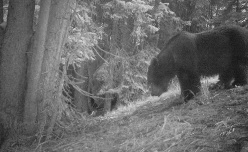 Un orso a passeggio per le valli di Ugovizza