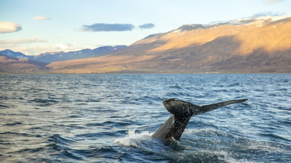 Balena in Islanda