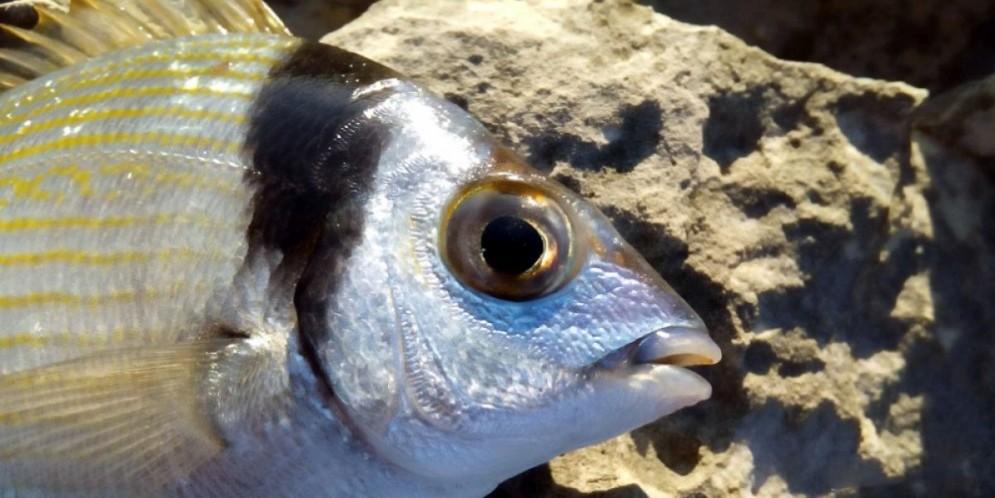 Un pesce